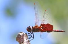 Carolina Saddlebags at Capik Preserve (Tombo Pixels) Tags: capik181387 carolinasaddlebags capikpreserve dragonfly ode odonata odonate carolina saddlebags middlesexcounty pinebarrens pinelands nj newjersey twb1