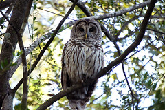 Owl (Mountain Traveller) Tags: barred owl