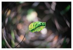 Autumn in August (leo.roos) Tags: leaf blad leaves bladeren autumn fall herfst swirly meyerkinonsuperiorf5cm meyerkinonsuperior5016 projectorlens projectionlens focusinghelicoidtrioplan10028 exakta darosa leoroos