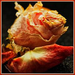 Rose Decay (magritknapp) Tags: macromondays decay vertrockneterose drieduprose rosedesséchée rosaseca rosaessiccata opgedroogderoos torkadrose tørretrose upiornaróża sushenyyerozy rè
