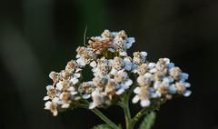 Plant or Capsid Bug. (dave p brecks) Tags: phytocorisvaripes plantbug invertebrates panasonicdmcg80 olympus60mmmacro