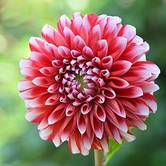 Thursday`s Flower (Eleanor (No multiple invites please)) Tags: garden stanmore uk nikond7100 august2018