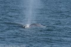 AHK_6481 (ah_kopelman) Tags: bpcresli2018071101 2018 balaenopteraphysalus cresli creslivikingfleetwhalewatch finwhale montaukny vikingfleet vikingstarship whalewatch