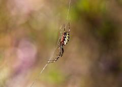 Wasp Spider (Peter Quinn1) Tags: waspspider dorset heather moorland heathland hartlandmoor hartlandmoornationalnaturereserve nnr