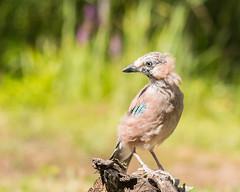 Jay (michaelphillips3) Tags: forestfarm wildlife