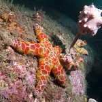 Mosaic sea star Plectaster decanus thumbnail