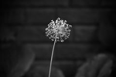 (Mikko Luntiala) Tags: 2018 august bw blackandwhite bokeh brickwall d600 dark elokuu finland flower helsinki kasvi kukka mustavalkoinen mikkoluntiala nikond600 plant suomi synkkä tamronsp70200mmf28divcusdg2 tiiliseinä valkoinen white