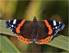 Red Admiral (Antony Ward) Tags: butterflys closeup redadmiral askhambog yorkshirewildlifetrust