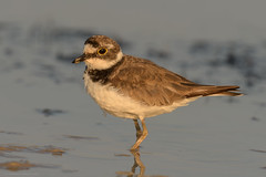 ringed plover (f.) (Cristiano Tedesco) Tags: corriere piccolo ringed plover sunset alba pantano vendicari palude marsh nature wild wildphoto birding birds bird uccelli
