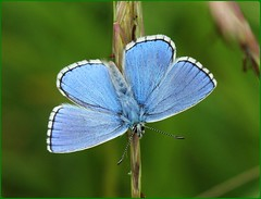 Male Adonis Blue basking - Swelshill Bank (glostopcat) Tags: adonisbluebutterfly butterfly insect inverterbrate june summer glos stroud swelshillbank nationaltrust macro