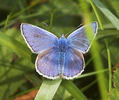 """Common Blue Butterfly (polyommatus ic(3) • <a style=""""font-size:0.8em;"""" href=""""http://www.flickr.com/photos/57024565@N00/205035200/"""" target=""""_blank"""">View on Flickr</a>"""