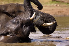 Elephants cooling off (Wildcaster) Tags: africa travel elephant nature wildlife dumbo conservation safari zimbabwe elephants jumbo tusks africanelephant southernafrica tusker cites loxodontaafricana africanwildlife phylumchordata malilangwe kingdomanimalia classmammalia wildlifeconservation wildcasting greatlimpopotransfrontierpark wildlifedocumentary wildlifefilms wildlifeeducation gameranging gonarezhou orderproboscidea familyelephantidae genusloxodonta wildcastselect