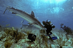 Jim A WITH TIGERS (ScottS101) Tags: ocean nature danger ilovenature scary marine nw jaw teeth scuba diving jaws sharks shearwater bahamas allrightsreserved cuvier abernathy wilflife animalencounters galeocuerda ilovetheocean copyrightscottsansenbach2008