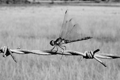 dragonfly (dope_transmissions) Tags: summer blackandwhite bw canon bug insect wings dragonfly wildlife barbedwire canoneos350d somersham