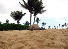 Monk Seal in Kauai (caffeineguy) Tags: trip travel vacation beach island hawaii paradise seal kauai monkseal
