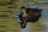 Mussel Pool Duck crop