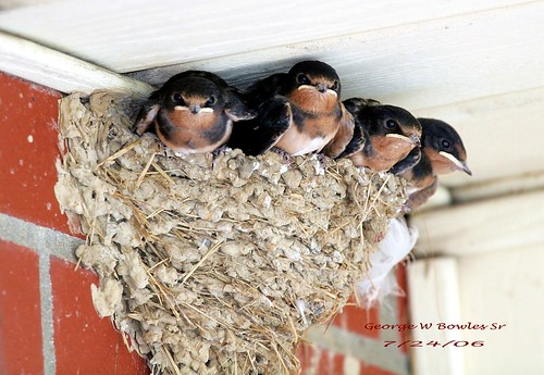 Barn Swallow By George W Bowles Sr