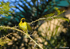 Masked Weaver in Paperbark Thorn Tree - by Martin_Heigan