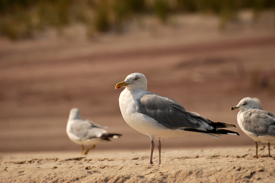 gull on the dunes