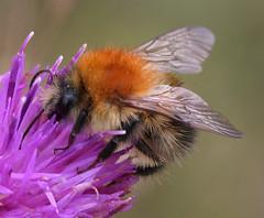 Bee (in focus)