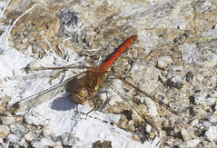 """Common Darter (Sympetrum striolatum) (9) • <a style=""""font-size:0.8em;"""" href=""""http://www.flickr.com/photos/57024565@N00/229896150/"""" target=""""_blank"""">View on Flickr</a>"""