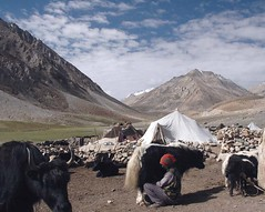 Milking Yak (Koshyk) Tags: morning yak india milk hut kasmir bovine ladakh settlement