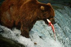 Salmon Blood (Dave Schreier) Tags: bear camp fish blood salmon grizzly brooks specanimal aplusphoto