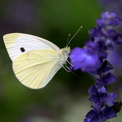 fly high, little butterfly (jude) Tags: flowers blue summer white flower macro green nature animal animals yellow closeup butterfly insect square bokeh quality nj butterflies august 2006 jude judith squared pieris pierisrapae midsize cabbagewhite meskill judithmeskill pieridae pierinae bmna ventral yellowmorph specnature twtme specanimal animalkingdomelite abigfave 30faves30comments300views musicaltitle 50faves50comments500views judeonflickr