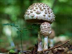 Sunday Best (algo) Tags: macro mushroom closeup topv2222 photography woods topf50 topv555 bravo searchthebest sony topv1111 topv999 fungi fungus funghi toadstool algo topv3333 topf100 topf200 50mmf14 toadstools 100f 200f abigfave agricaceae macroleoita rhacoides