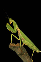 Praying Mantis (Captain Suresh Sharma) Tags: india green nature field animal monster closeup garden mantis insect wildlife attack perched posture agriculture aggressive predator creature mode antenna prayingmantis foodchain ecosystem zoology macrolens greeninsect attackposture