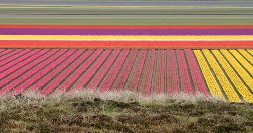 The amazing colors of Dutch tulipfields