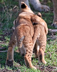 She's My Sister. (Picture Taker 2) Tags: africa wild cats cute nature animal animals closeup children cub pretty babies wildlife lion lions curious unusual wilderness plains predator upclose mammals bigcats lioncubs newlife wildanimals animalbabies babyanimals africaanimals masimarakenya