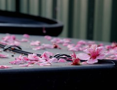 compost bin (michenv) Tags: pink flowers flower garden interest