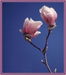 Two (Mrs. Terry) Tags: pink flowers blue two boston ma framed buds matted magnoliabuds flickrific