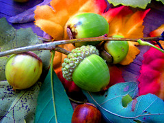 Acorns and fall leaves