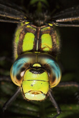 "Southern Hawker Dragonfly (Aeshna cyanea) • <a style=""font-size:0.8em;"" href=""http://www.flickr.com/photos/57024565@N00/241499875/"" target=""_blank"">View on Flickr</a>"