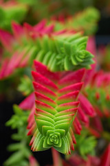 Crassula capitella (Eric Hunt.) Tags: red macro green d70 bokeh strybing crassulaceae crassula crassulacapitella ubcbotanyphotooftheday
