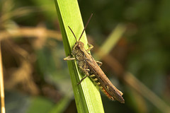 """Grasshopper • <a style=""""font-size:0.8em;"""" href=""""http://www.flickr.com/photos/57024565@N00/243996817/"""" target=""""_blank"""">View on Flickr</a>"""