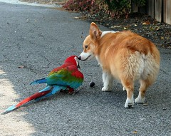 wanna share the fig??? (sansanparrots) Tags: dog ball interestingness corgi play parrot explore macaw welshcorgi greenwingmacaw chowtime blueribbonwinner kaleycorgi abigfave ranimacaw lmaoanimalphotoaward