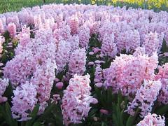 Soft as clouds (Princess_Fi) Tags: flowers canberra floriade