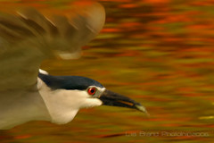 again let's do a panning…♫  black crowned night heron from bali♫ (bocavermelha-l.b.) Tags: bird heron k inflight redeye panning blackcrownednightheron nycticoraxnycticorax 105mmf28dmicro wildlifephotography garçanoturna inbali foundinnusadua gottafish south–china–sea inindonesia 2xtelepluspro300 mi–im wildlifesoutheastasia ♫♫ shootingwithd70s wingsinflight asasemvôo qwaak♫♫