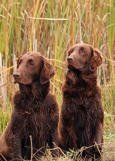 A Pair of Hunting Retrievers