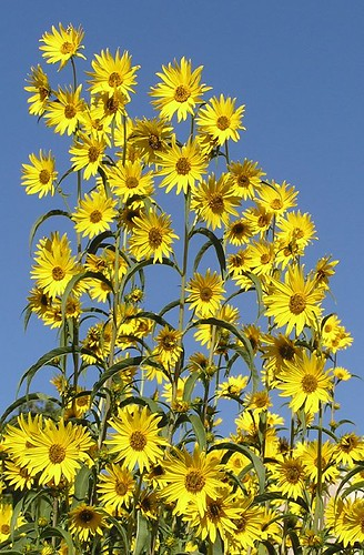 "sunflowers • <a style=""font-size:0.8em;"" href=""http://www.flickr.com/photos/10528393@N00/245619316/"" target=""_blank"">View on Flickr</a>"