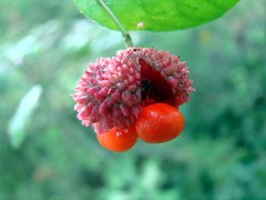Hearts a bustin fruit (Martin LaBar (going on hiatus)) Tags: red macro fruit bokeh southcarolina lavender euonymusamericanus heartsabustin pickenscounty heartsabursting celastraceae 10faves 2for2 5for2 heartsabusting