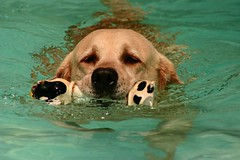 Poker gosta de nadar (Mariana Bahia) Tags: dog co water pool animal piscina cachorro straight animais abigfave gundogsfundogspotd