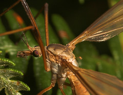 """Cranefly (Tipula oleracea)(1) • <a style=""""font-size:0.8em;"""" href=""""http://www.flickr.com/photos/57024565@N00/249009009/"""" target=""""_blank"""">View on Flickr</a>"""