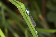 "Blue-Tailed Damselfly (Ischnura elegans) • <a style=""font-size:0.8em;"" href=""http://www.flickr.com/photos/57024565@N00/249619329/"" target=""_blank"">View on Flickr</a>"