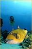 Angry Titan Trigger (Fiona Ayerst) Tags: red sea portrait vertical movement underwater redsea egypt diver protective aggressive scubadiver brightyellow animalbehaviour rasmohammed yellowskin titantriggerfish seaseastrobes120s d200nikon jackfishalley debbiematherpike egyptaugust2006 seaseaprofessionalunderwaterhousingd200 105mmfisheyelens ballistoidesviridescens