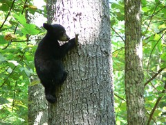 One Of The Triplets .... (Country Squire) Tags: bear cub tn tennessee 2006 cadescove greatsmokymountain