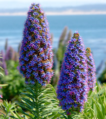 Flowers (Keith Lovelady's Photography) Tags: ocean flowers trees vacation flower tree monterey coastline pointlobos californiacoastline coastlines montereyca montereycalifornia cacoastline montereyvacation pointlobosnationalpreserve